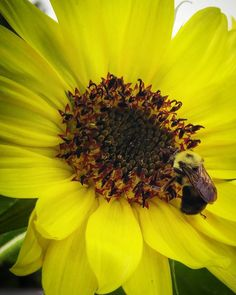 """Bumble bee garden helper on our Lemon Queen sunflower. #lemonqueen #lemonqueensunflower #sunflower #flower #garden #gardening #veggies #vegetables #veggiegarden #vegetablegarden #homegrown #growyourown #growyourownfood #growfoodnotlawns #growsomethinggreen #organic #organicgarden #victorygarden #organic #organicgarden #organicgardening #Pennsylvania #PA #buckscounty #backyardfarmer #backyardgarden #epicgardening #seedsnow #urbangardenersrepublic #bee #bumblebee #botanicalinterests""…"