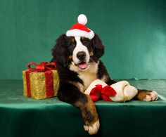 Bernese Mountain Dog Christmas Puppy #Holiday #Dogs