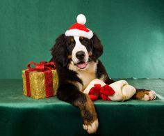 A Bernese Mountain Dog wearing a Santa hat at Christmas.