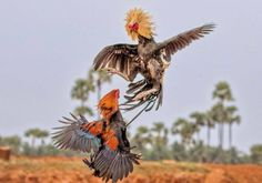 The Magnificent Photography of Roosters During their Fight They are Looking so aggressive and Beautiful in these Pictures Beautiful Chickens, Beautiful Horses, Hahn Tattoo, Bull Images, Fire Lion, Rooster Tattoo, Chicken Swing, Game Fowl, Rooster Painting