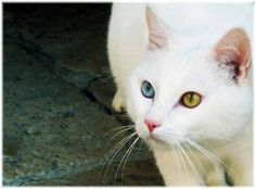 cat with heterochromia; these are my favorite, besides black cats! =) #breathtaking #beauty