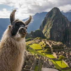 This llama photobombed my picture of Machu Picchu! ...