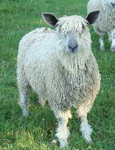 This is 'Eleanor of Aquitaine' a registered American Wensleydale
