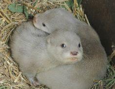 white otter cubs