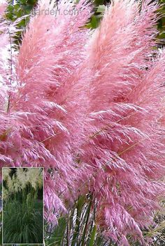 """Pink Pampas Grass (Cortaderia selloana) - You can enjoy fresh green foliage topped by long, thick dusty-pink plumes when you grow Pampas Grass seeds. These elegant ornamental grasses have """"feather duster"""" plumes from late summer and throughout the. Outdoor Plants, Garden Plants, Outdoor Gardens, Ideas Terraza, Grass Seed, Ornamental Grasses, Flower Seeds, Feather Duster, Trees To Plant"""