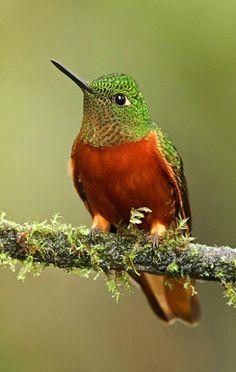 Chestnut-breasted Coronet (Boissonneaua matthewsii). A hummingbird found in Andean forests in Colombia, Ecuador, and Peru. photo: Glenn Bartley.
