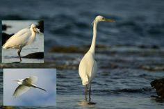 Egreta mare - Ardea alba