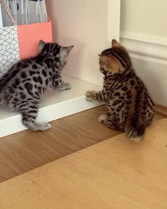 Breeders of outstanding Bengal and Savannah cats, from early generation through to SBT Cute Baby Cats, Cute Little Animals, Cute Cats And Kittens, Cute Funny Animals, Kittens Cutest, Fluffy Kittens, Pretty Cats, Beautiful Cats, Beautiful Cat Breeds