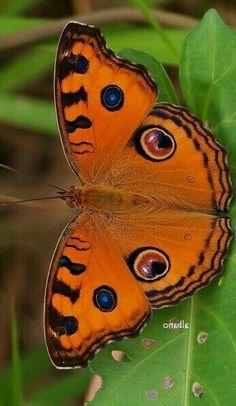 Butterfly Chrysalis, Butterfly Species, Butterfly Baby, Glass Butterfly, Butterfly Crafts, Beautiful Bugs, Beautiful Butterflies, Amazing Nature, Animals Beautiful