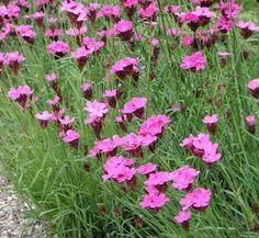 dianthus carthusianorum - Google Search