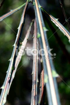 Lancewood (Horoeka) Tree in Differential Focus Royalty Free Stock Photo