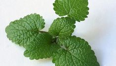 Lemon balm leaves are shiny, wrinkled and scalloped.