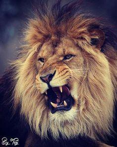 "1,163 Likes, 6 Comments - Tiger Lion Leopard Jaguar (@save.big.cats) on Instagram: ""Tuesday mood 💯#Repost @bytazi ・・・ Meowww 😜  #Africanlion #lion #bigcat #roar #grumpycat #wildlife #…"""