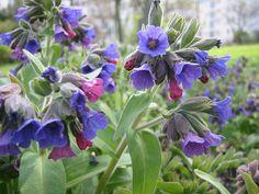 MIEREA URSULUI este folosita din vechime pentru tratamentul bolilor cailor respiratorii...Astfel,ceaiul se utilizeaza in tratamentul cazurilor de TUSE... Plants, Love Garden, Plant Species, Shade Garden, Plant List, Mollis, Perennials, Flowers, Blue Flowers