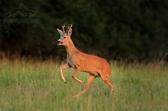 european roe deer, capreolus capreolus, srnec obecný