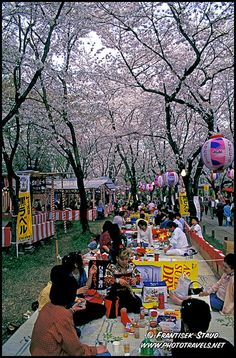 Sitting under the cherry blossoms getting smashed - 'Hanami'.