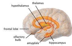 The limbic system- Emotion involves the entire nervous system, of course. But there are two parts of the nervous system that are especially significant: The limbic system and the autonomic nervous system Limbic System, Endocrine System, Brain Anatomy, Anatomy And Physiology, Lóbulo Frontal, Psychology Textbook, Paranasal Sinuses, Brain Diagram, Psychology