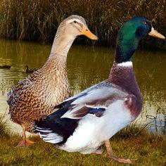 pato Rouen Rouen Duck, Canard Colvert, Duck Breeds, Duck Art, Amor Animal, Quack Quack, Mallard, Beautiful Birds, Funny Animals
