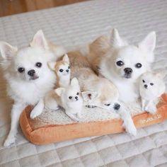 Cute Baby Puppies, Cute Chihuahua, Chihuahua Puppies, Baby Dogs, Cute Baby Animals, Cute Dogs, Dogs And Puppies, Funny Animals, Doggies