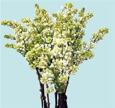Mayesh Wholesale Florists - Search our Flower Library