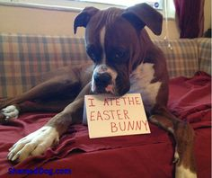 No other dog has the facial expressions a boxer does...it's great!