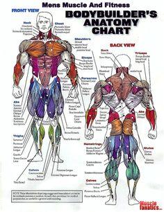 Bodybuilder's anatomy chart