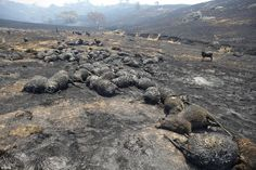 AUSTRALIA WILDFIRE - (January 2013). Horrific: Sheep burnt to death during a bushfire lay in a paddock near Bookham and Canberra, in the Australian Capital Territory