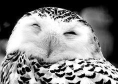 snowy owl - smiles