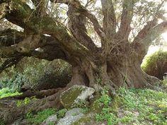 alberi secolari sardegna - Cerca con Google