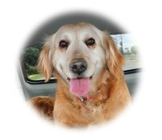 This is Roxy - 12 yrs. She is spayed, current on vaccinations, potty trained, walks well on leash & good with dogs. Golden Retriever Rescue So. Nevada http://www.petfinder.com/petdetail/28745137/ http://www.grrsn.org/albums/album_image/976052/8054771.htm