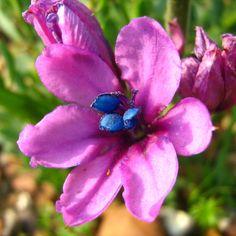 Babiana purpurea