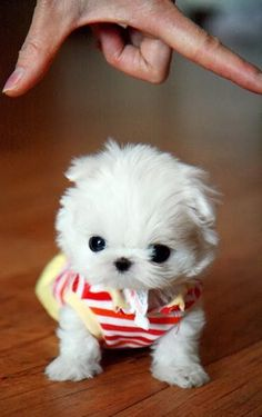 5 Tiniest puppies you have ever seen, Pic#05
