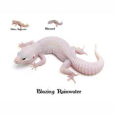 Leopard Gecko Blazing Rainwater Leopard Gecko Care, Leopard Gecko Morphs, Dinosaur Toys, Dinosaur Stuffed Animal, Fat Tailed Gecko, Bearded Dragon, Amphibians, Animals And Pets, Turtle