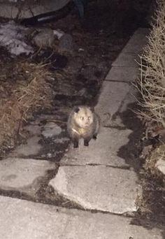 I spotted this Possum one around 9:30 pm sitting by the curb in a residential neighbourhood near Trinity Bellwoods Park in central Toronto.   It just