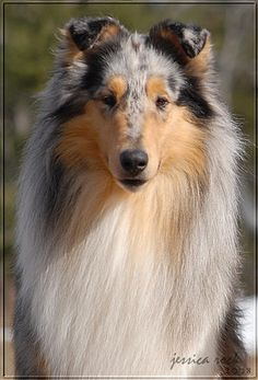 I always wanted a blue merle collie..