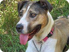 Brampton, ON - American Bulldog/Hound (Unknown Type) Mix. Meet Nikita a Dog for Adoption.