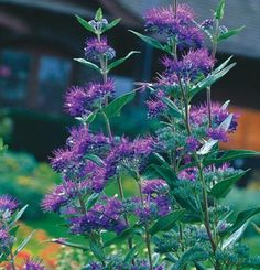 Bluebeard / Bluemist: Caryopteris × clandonensis | easy to care for shrub. Under 3ft tall.
