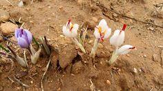 A veces en forma de pequeño milagro en los campos de La Mancha brotan flores de azafrán albinas. Maravillosa foto que nos llegó ayer desde Camuñas.