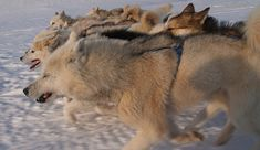 greenland_sled_dogs_closely_related_to_wolves by Gregers Reimann, via Flickr