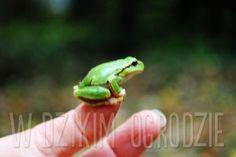little frogg