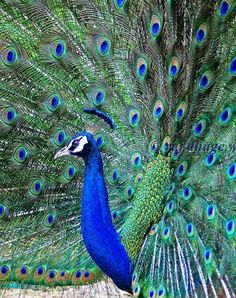 """dancing peacock"" by raj dhage"