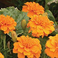 we already do this!!    Farmers and gardeners have long known that marigolds make important companion plants all over the garden. Not only does the scent of the marigold (Tagetes spp.) repel animals and insects, but the underground workings of the marigold will repel nematodes (microscopic worms) and other pests for up to 3 years.
