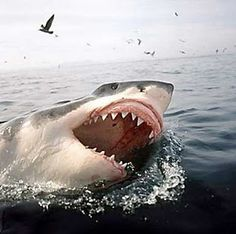 Shark off the Farallones Islands near San Francisco :: From the Book Devil's Teeth by Susan Casey ~ a true story of survival and obsession among America's Great White Sharks... Read more...