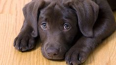 How could anyone resist those eyes? Lab love <3