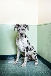 LadyBird is an adoptable Great Dane Dog in Michigan City, IN. LadyBird is a 5 month old Great Dane/Mastiff mix - she will be a big girl. Very sweet! ...