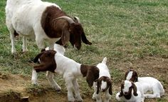 Tips on raising and farming Boer goats for profit to help you succeed on your farm, toward high returns on your investment for a profitable goat farming business. Barnyard Animals, Cute Animals, Cabras Boer, Female Goat, Goats For Sale, Cattle For Sale, Show Goats, Nubian Goat, Boer Goats