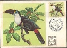 Tucano-de-peito-branco. (Ramphastos t. tucanus).