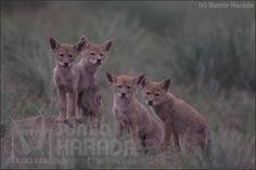 コヨーテ  /  Coyote