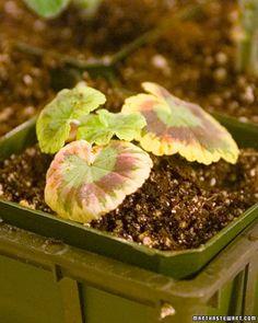 Propagating Geraniums - Martha Stewart Home & Garden