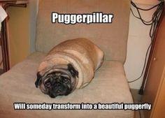 hahaaha em i found the puggerpillar!